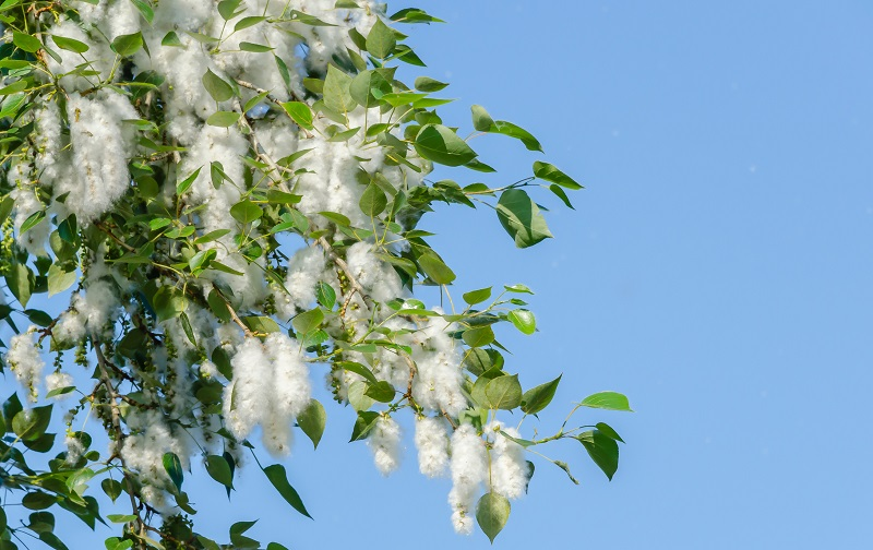 cottonwood trees can ruin air conditioners by clogging the condenser with shed cotton